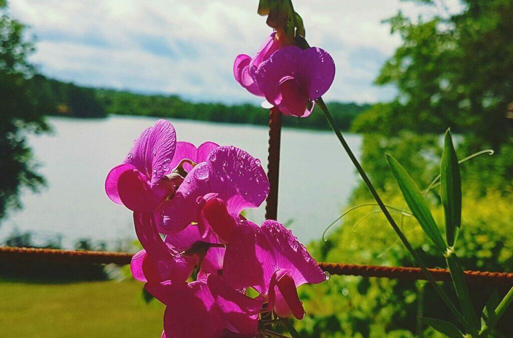 Växtporträtt: Rosenvial