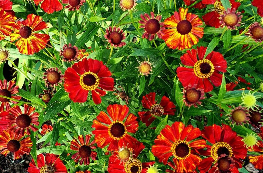 Växtporträtt: Trädgårdssolbrud